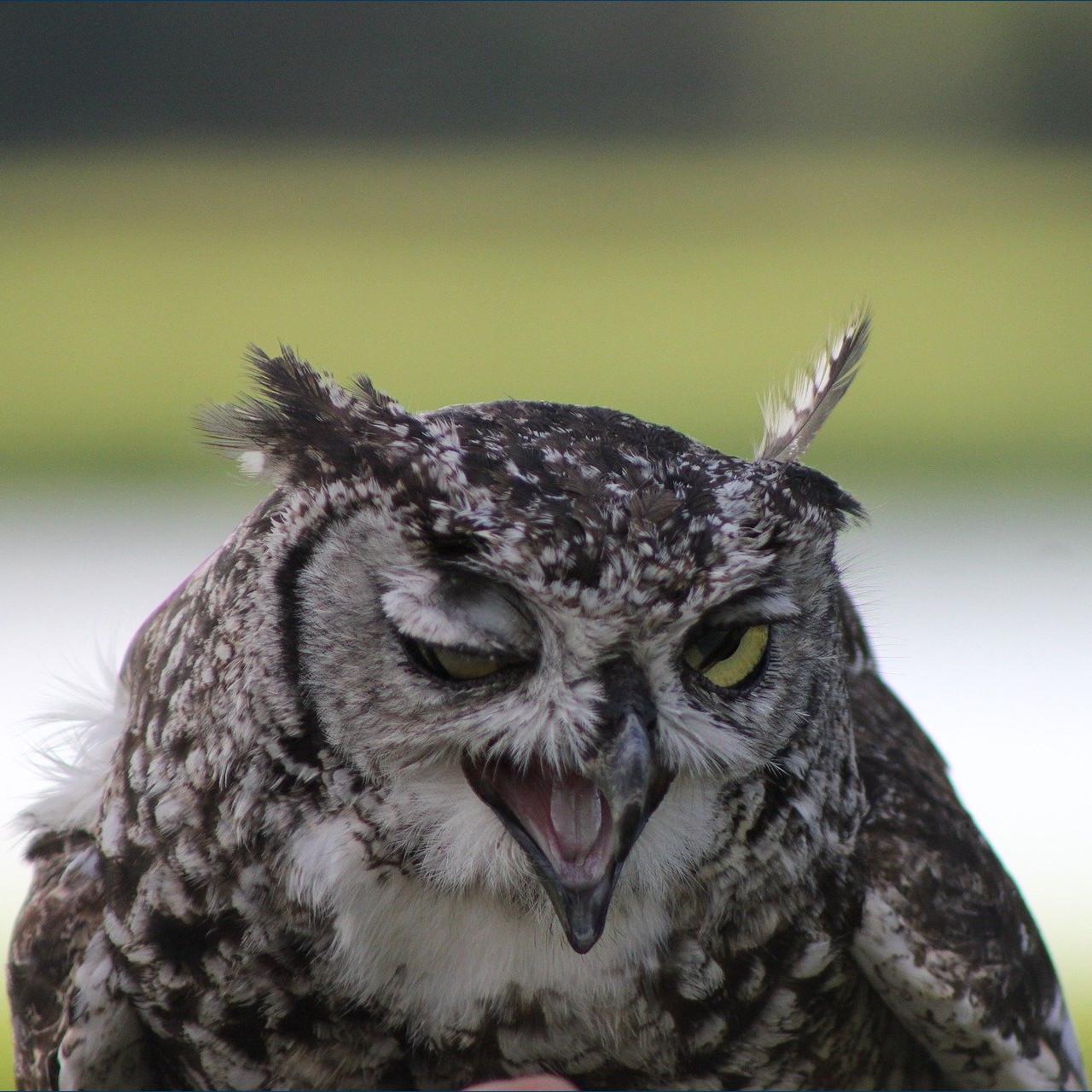 Owl Doe